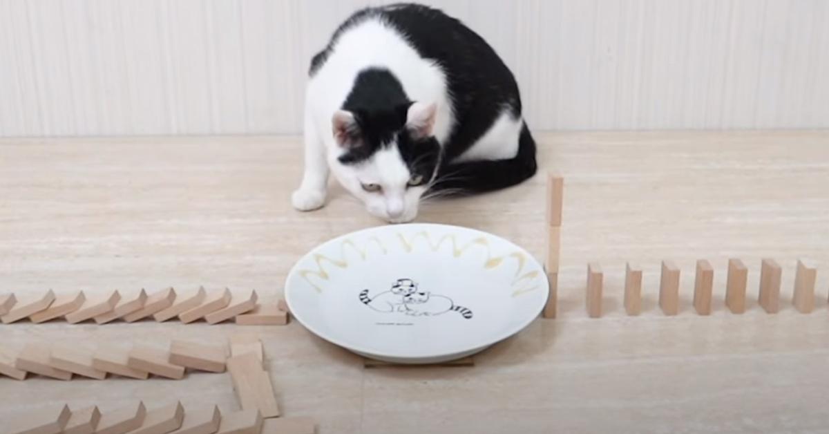 Gatto osserva domino