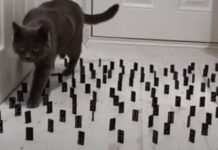 Gatto affronta corsa ad ostacoli