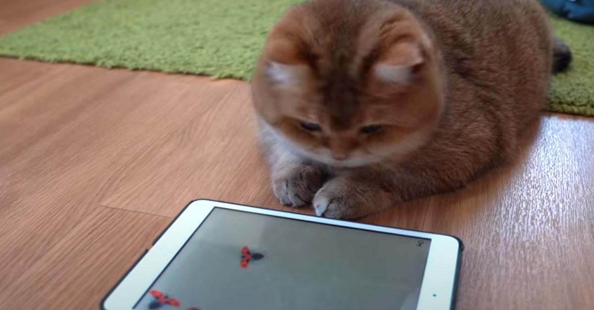 Gatto che gioca con tablet