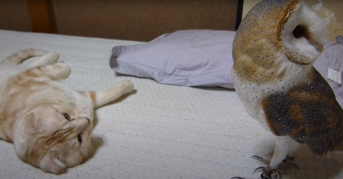 Gatto con un barbagianni