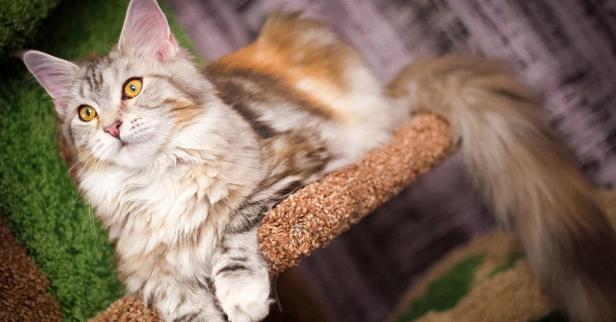 gattina Maine Coon