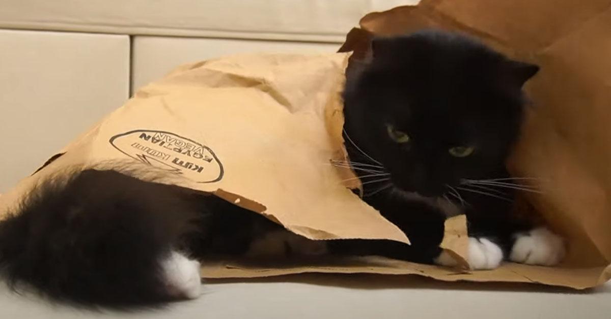Gatto in una busta
