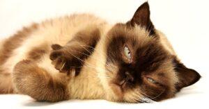 Perché i gatti alzano la zampa? Cosa può significare?