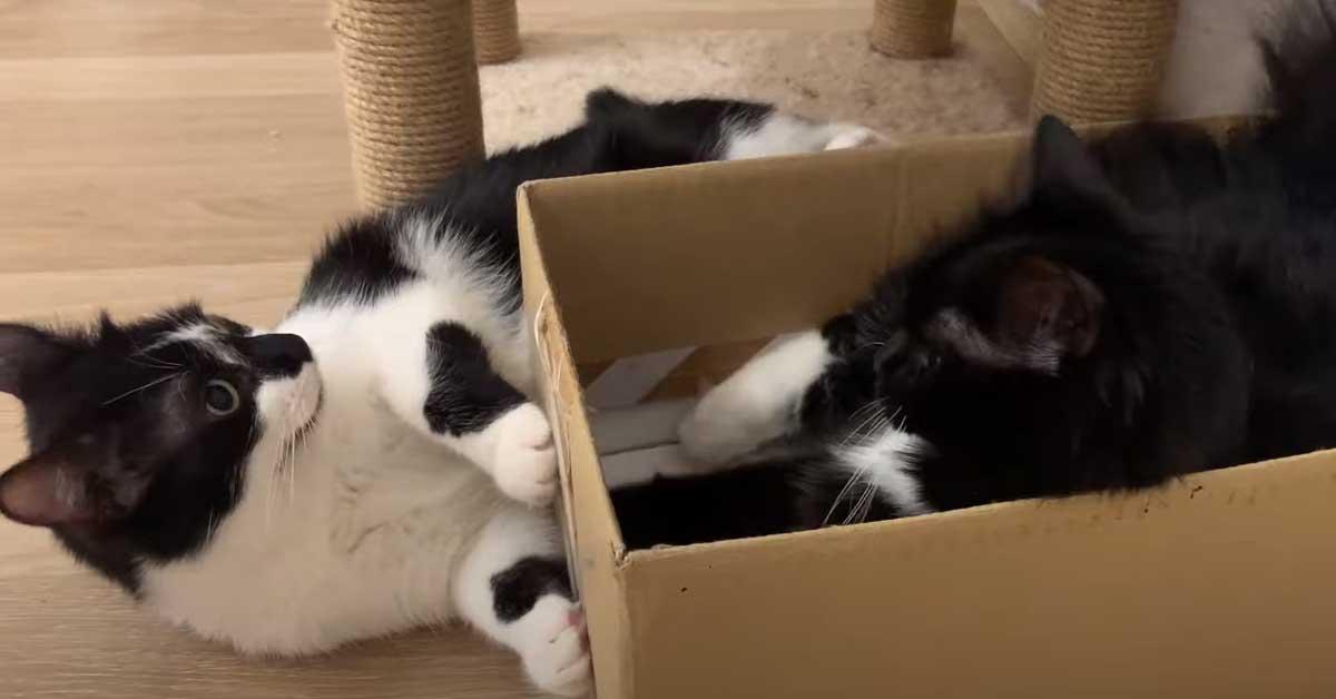 Gatti che giocano con le scatole