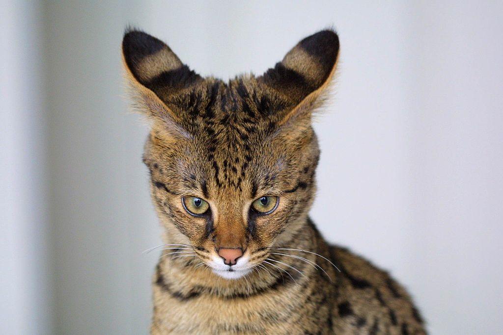 Razze di gatti con ciuffi auricolari- Savannah