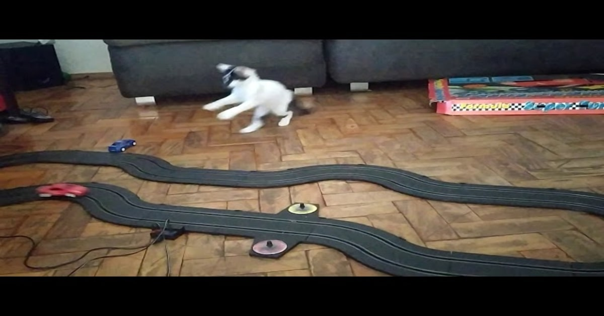gatta cerca di prendere macchinine del circuito giocattolo