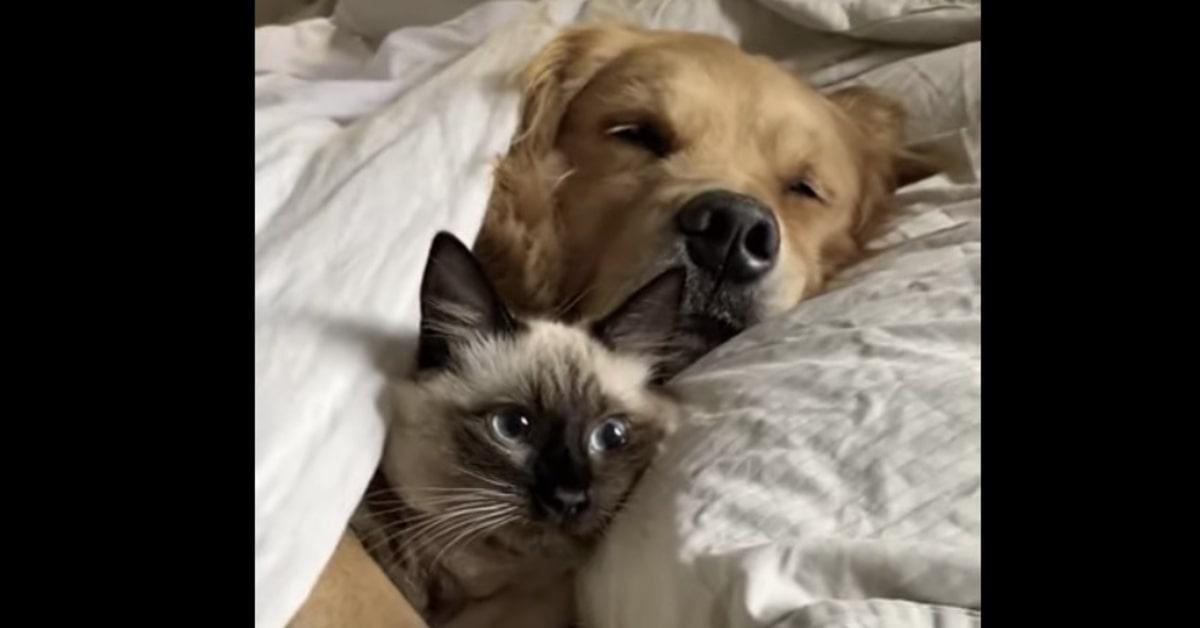 siamese dorme con un Golden Retriever