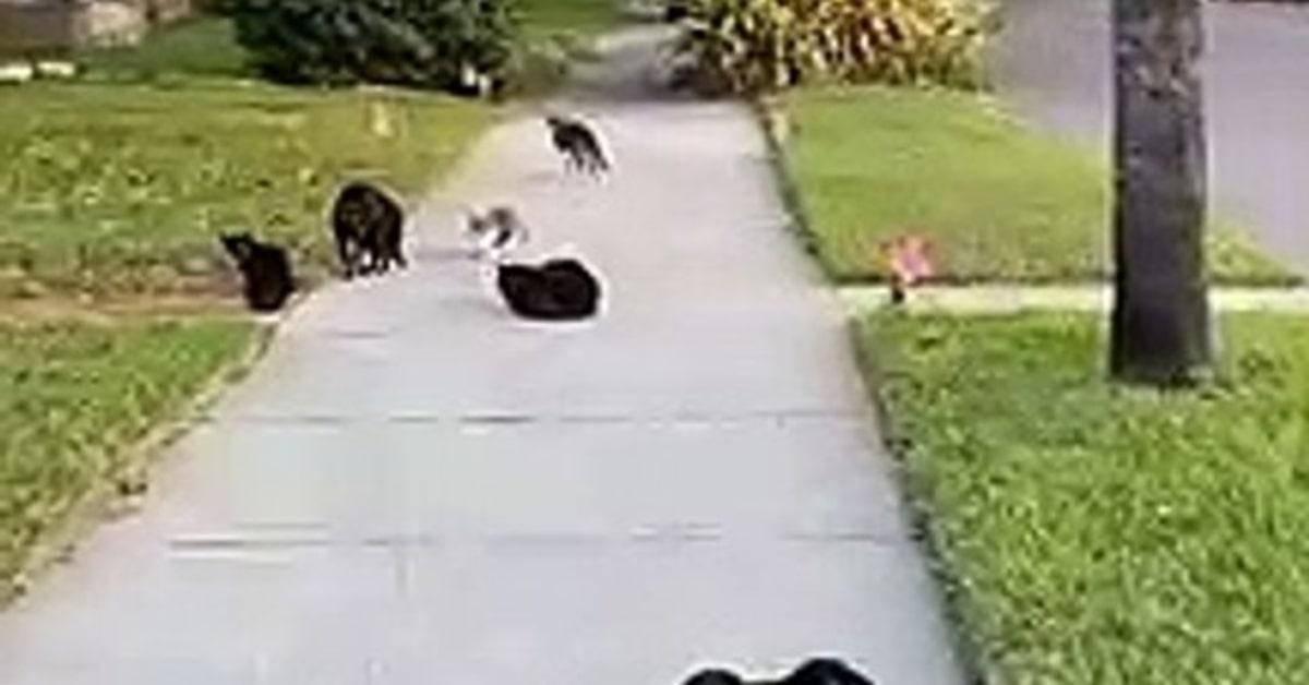 gatti randagi aggrediscono cane