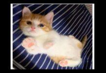 Chata gattino giapponese