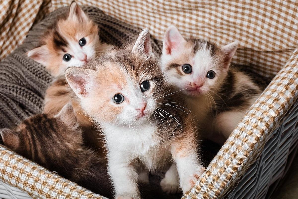 cucciolata di gattini
