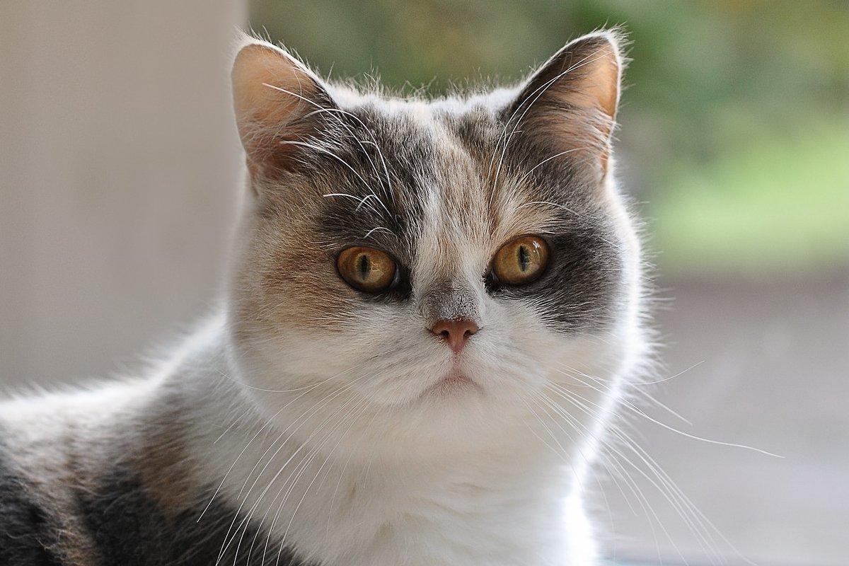 gatto persiano bianco grigio e marrone