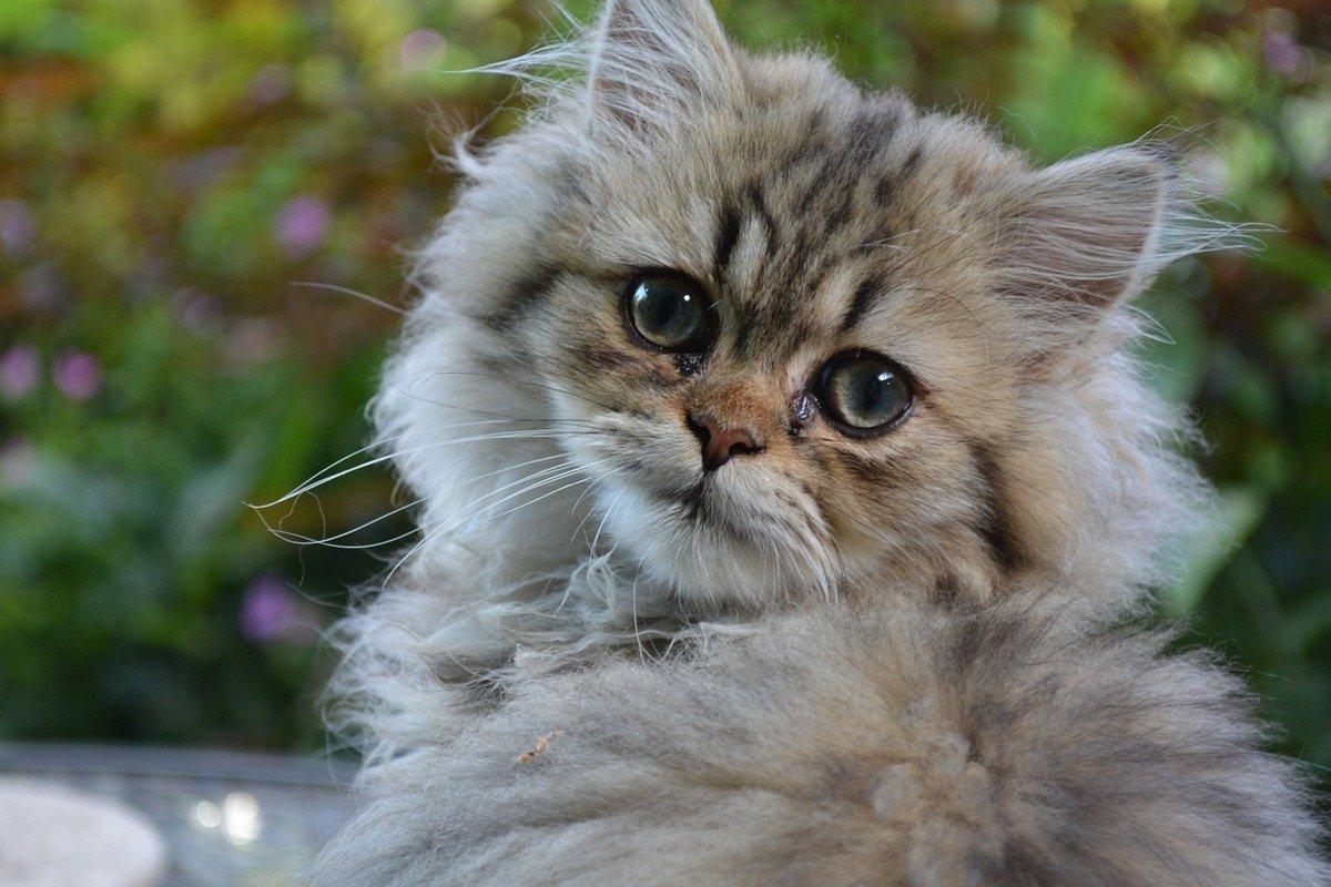 gatto brachicefalo