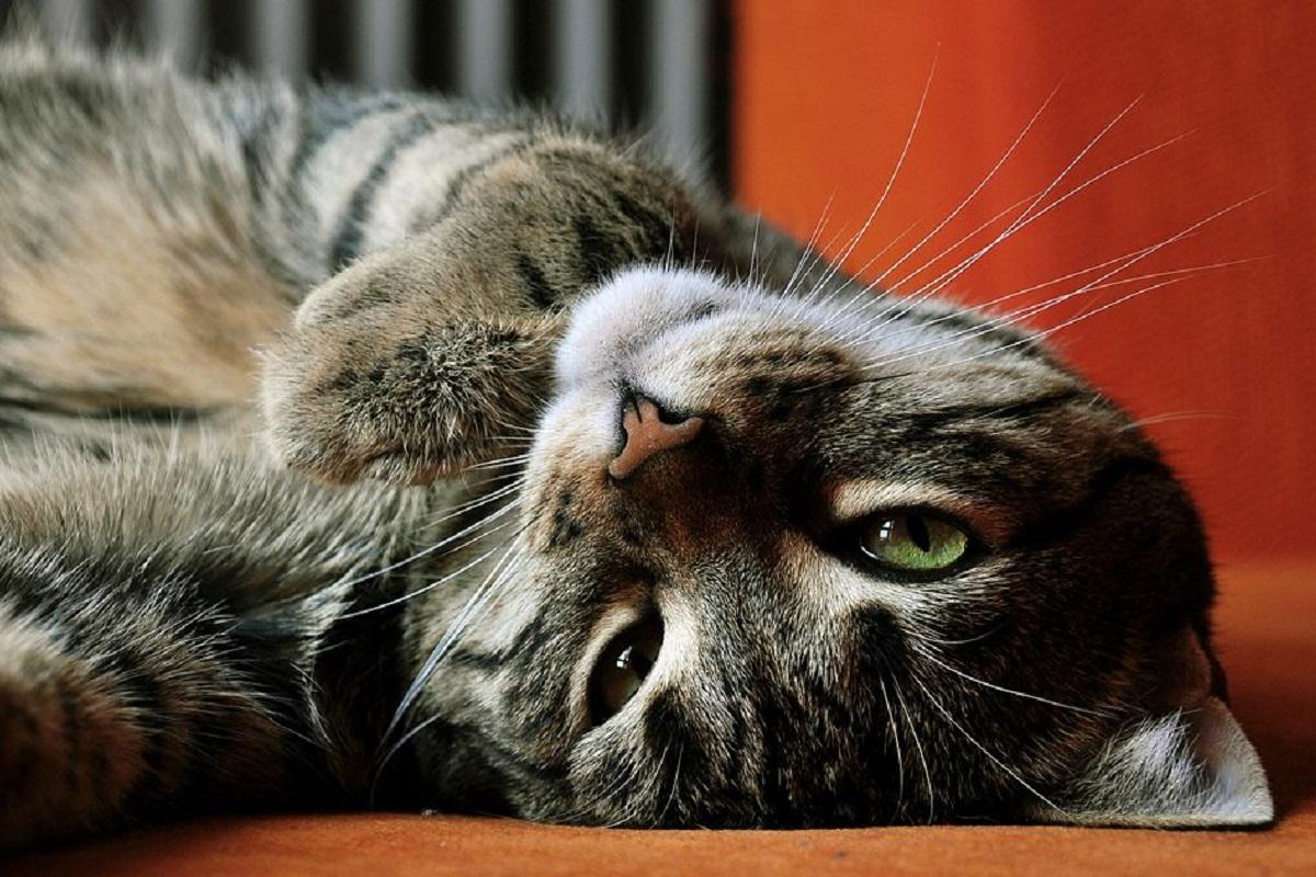 gatto a testa in giù