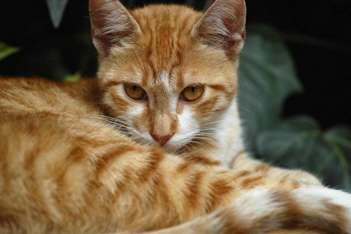 gatto arancione con gli occhi marroni