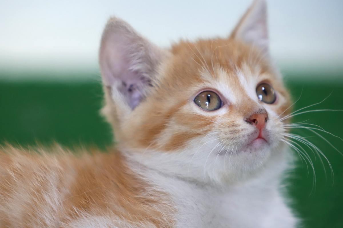 gattino arancione e bianco