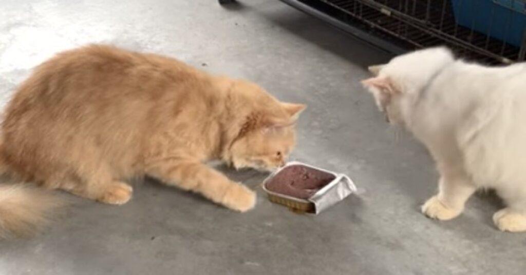 gatti litigano per scatoletta cibo