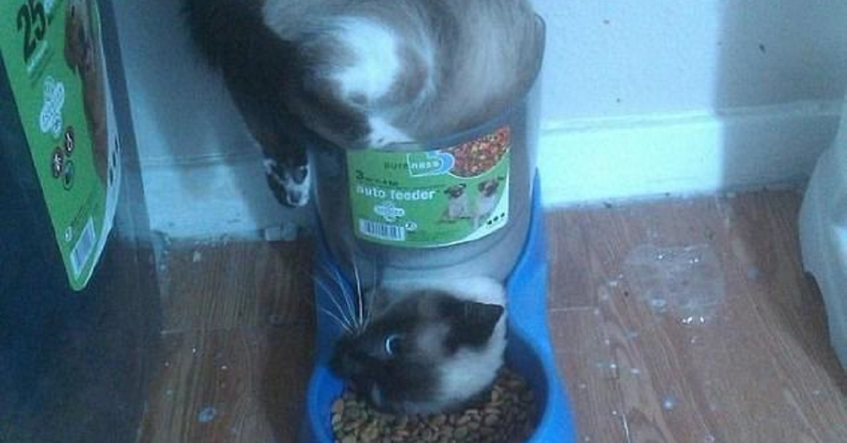 Gatto nelle crocchette