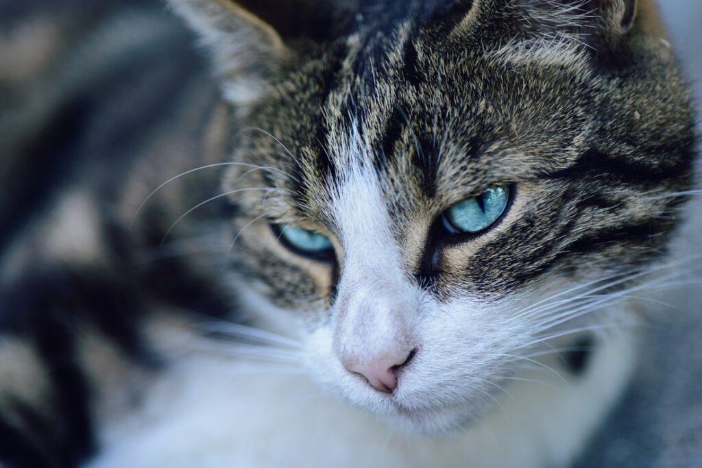 gatto europeo con gli occhi azzurri