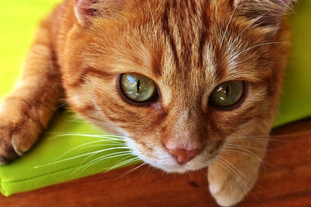 gattino arancione e tigrato