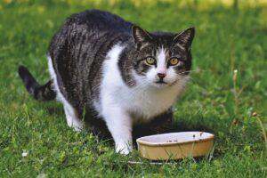 gatto con ciotola sul prato