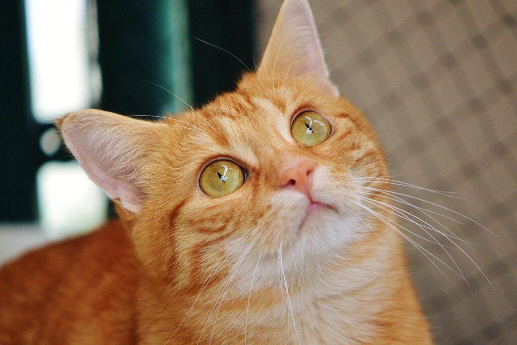 gatto arancione che guarda all'insù