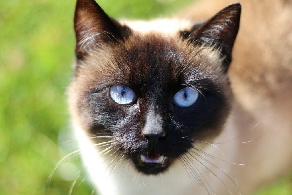 gatto siamese che miagola
