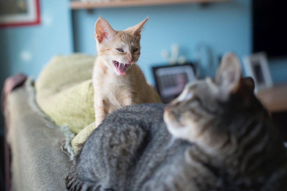 gattino che miagola forte