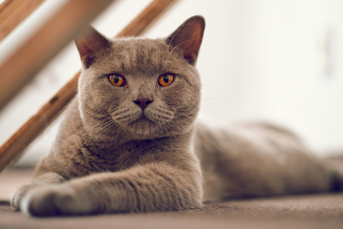 gattina British Shorthair che allatta i cuccioli appena nati