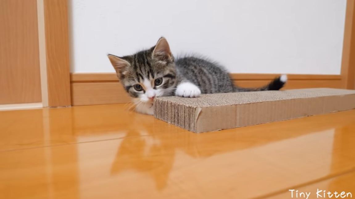 gattina Munchkin usa il tiragraffi per la prima volta