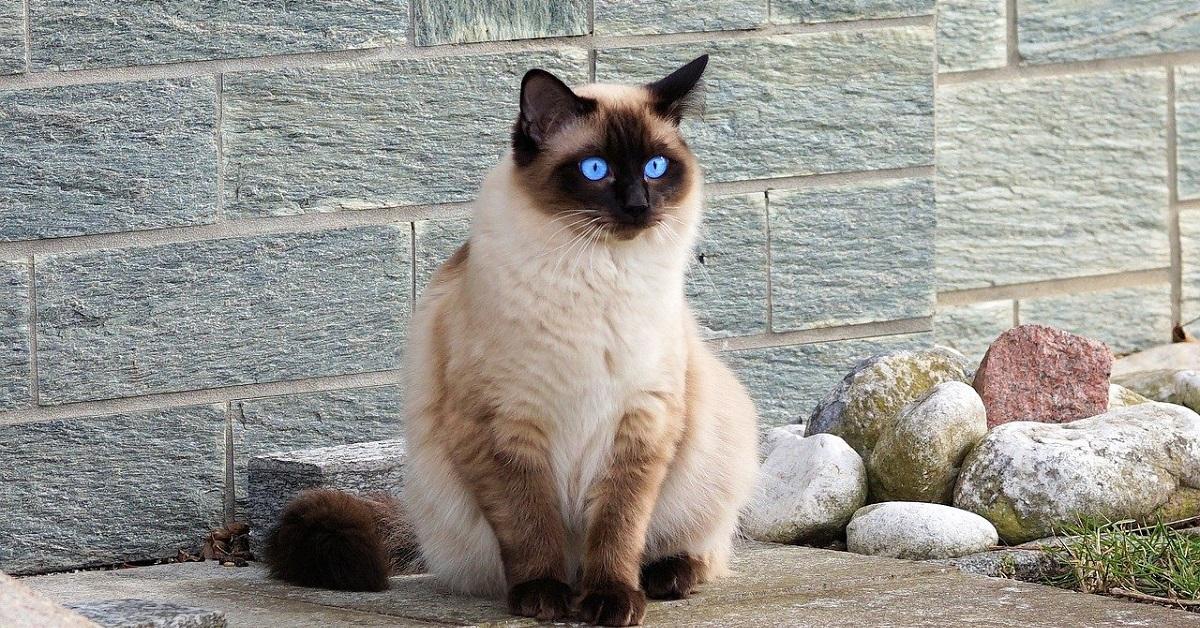 gattina siamese che adora la sua nuova cuccia