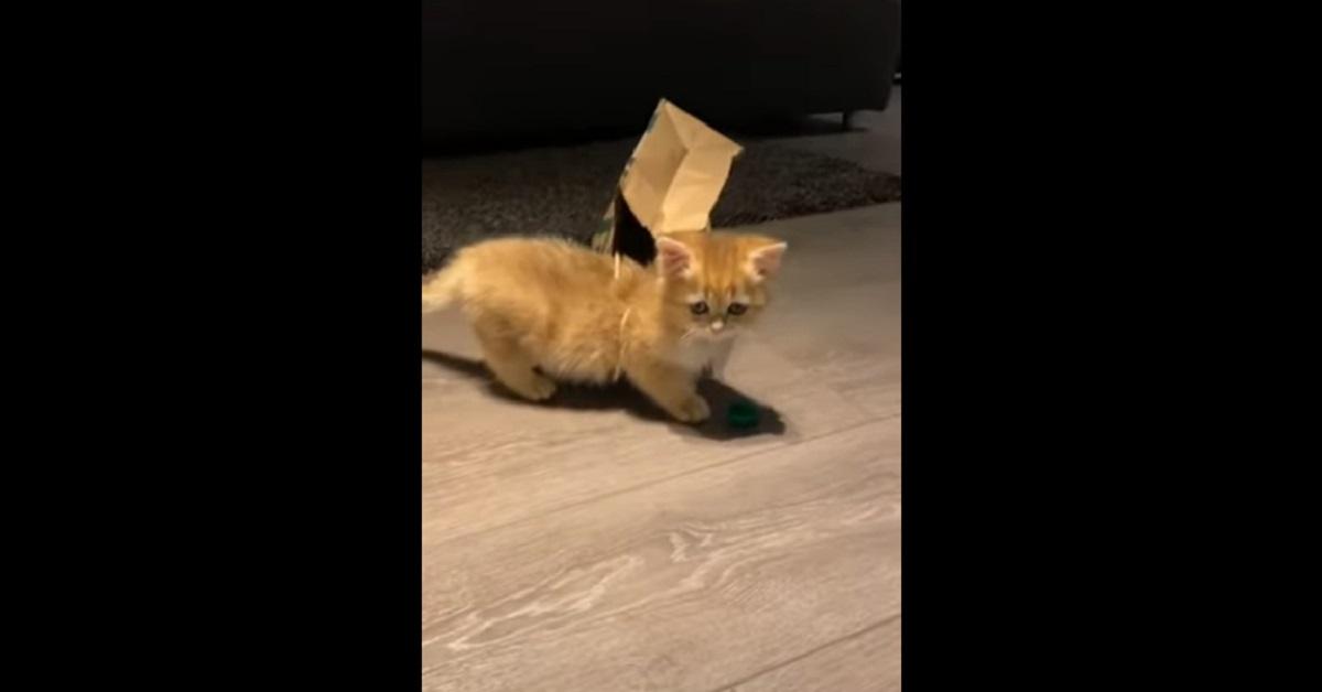 gattino British Shorthair gioca con la busta di carta