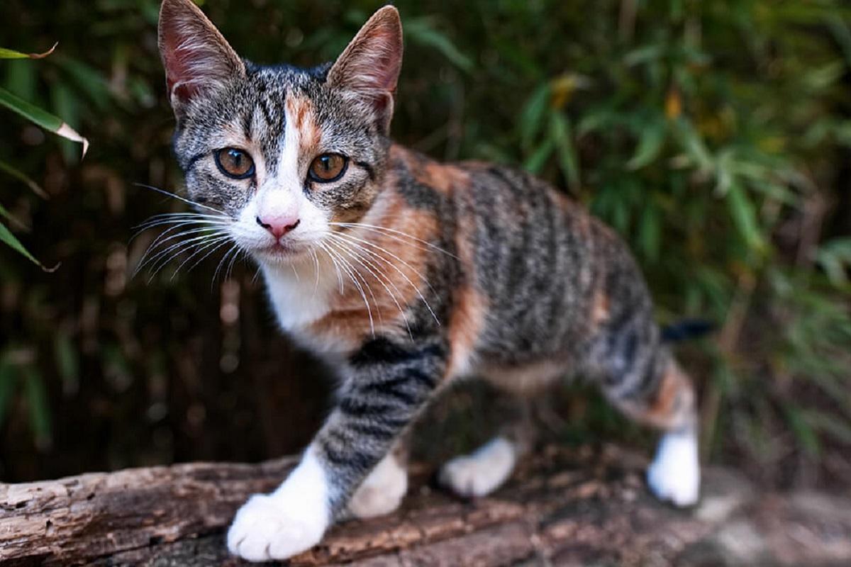cucciolo di gatto tigrato