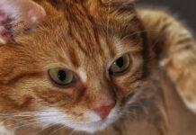 gattino disabile viene curato e poi adottato