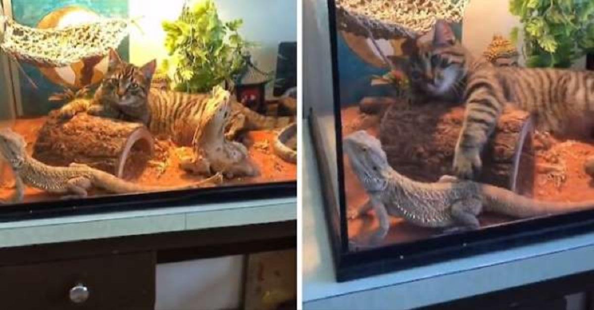 gattino si arrampica nel terrario per giocare con la lucertola