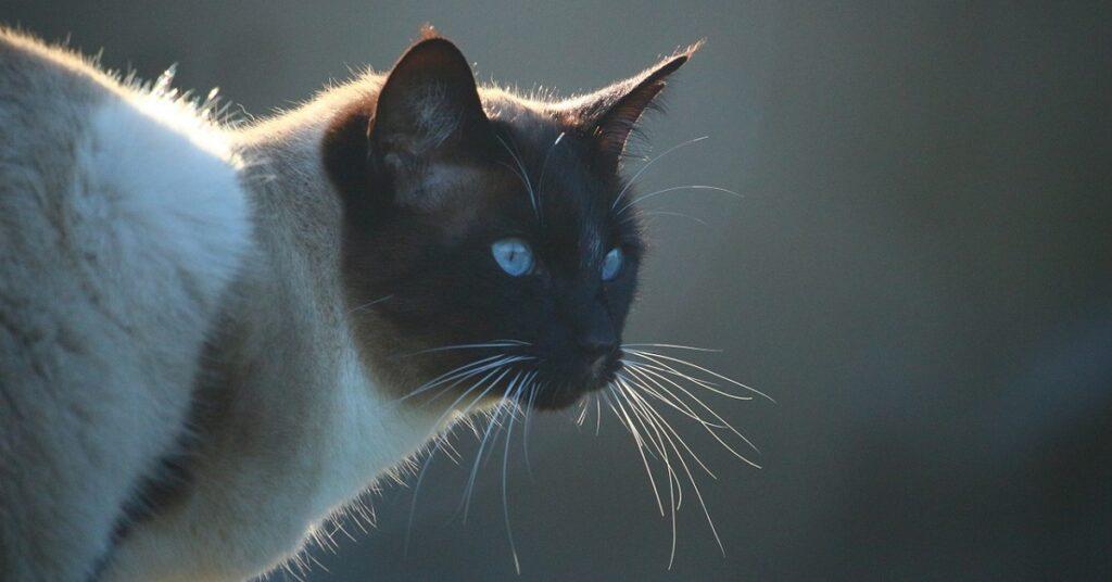Gattino siamese che non fa scendere le scale alla sua padrona