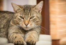 gattino tabby non apprezza particolarmente presenza fratello video