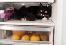 gattino tuxedo entra di soppiatto cucina ruba dal frigo video