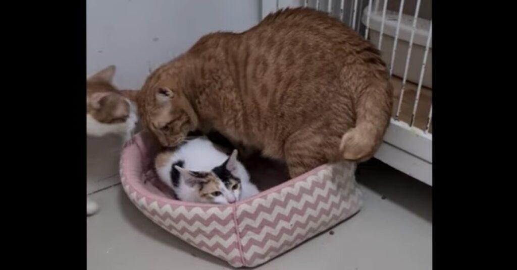 gatto rosso fa spostare gattino dalla sua cuccia