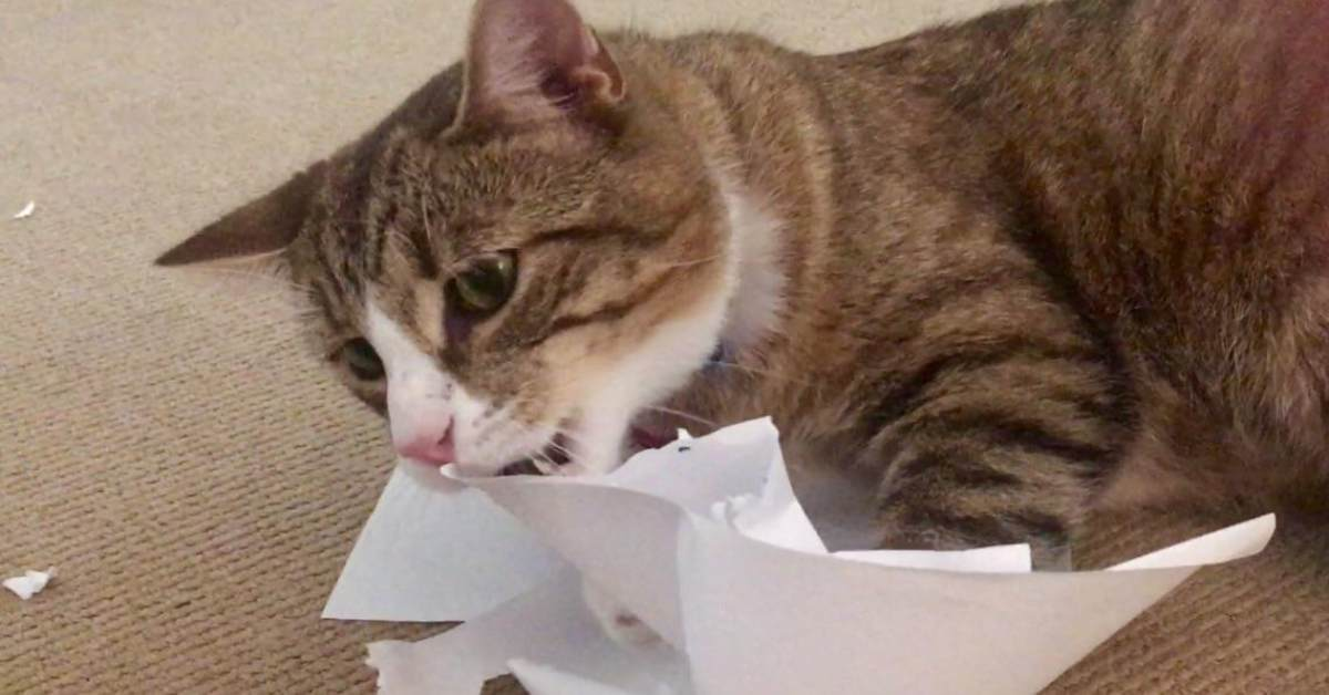 gatto mangia carta