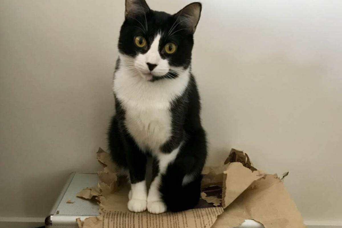 gato bianco e nero su uno scatolo