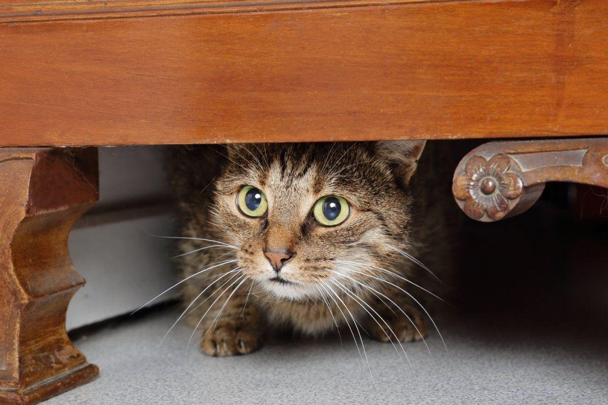 gatto sotto a un mobile di legno