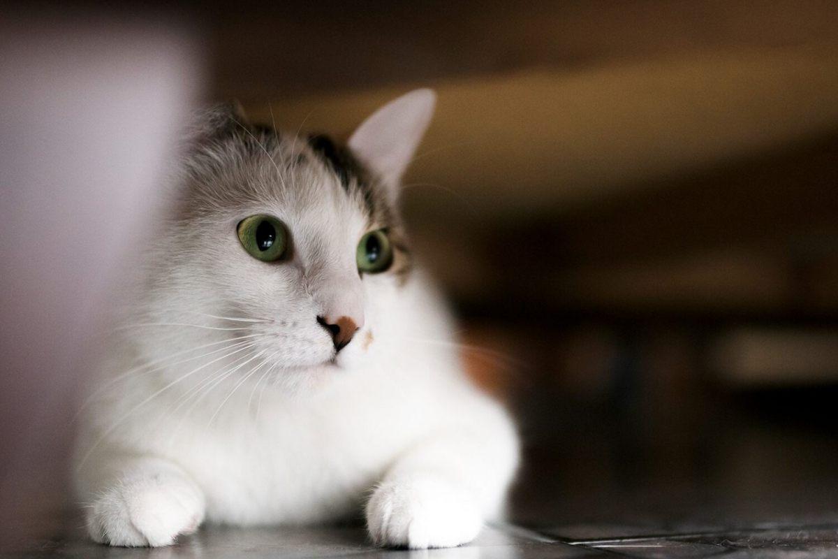 gatto nascosto sotto a un mobile