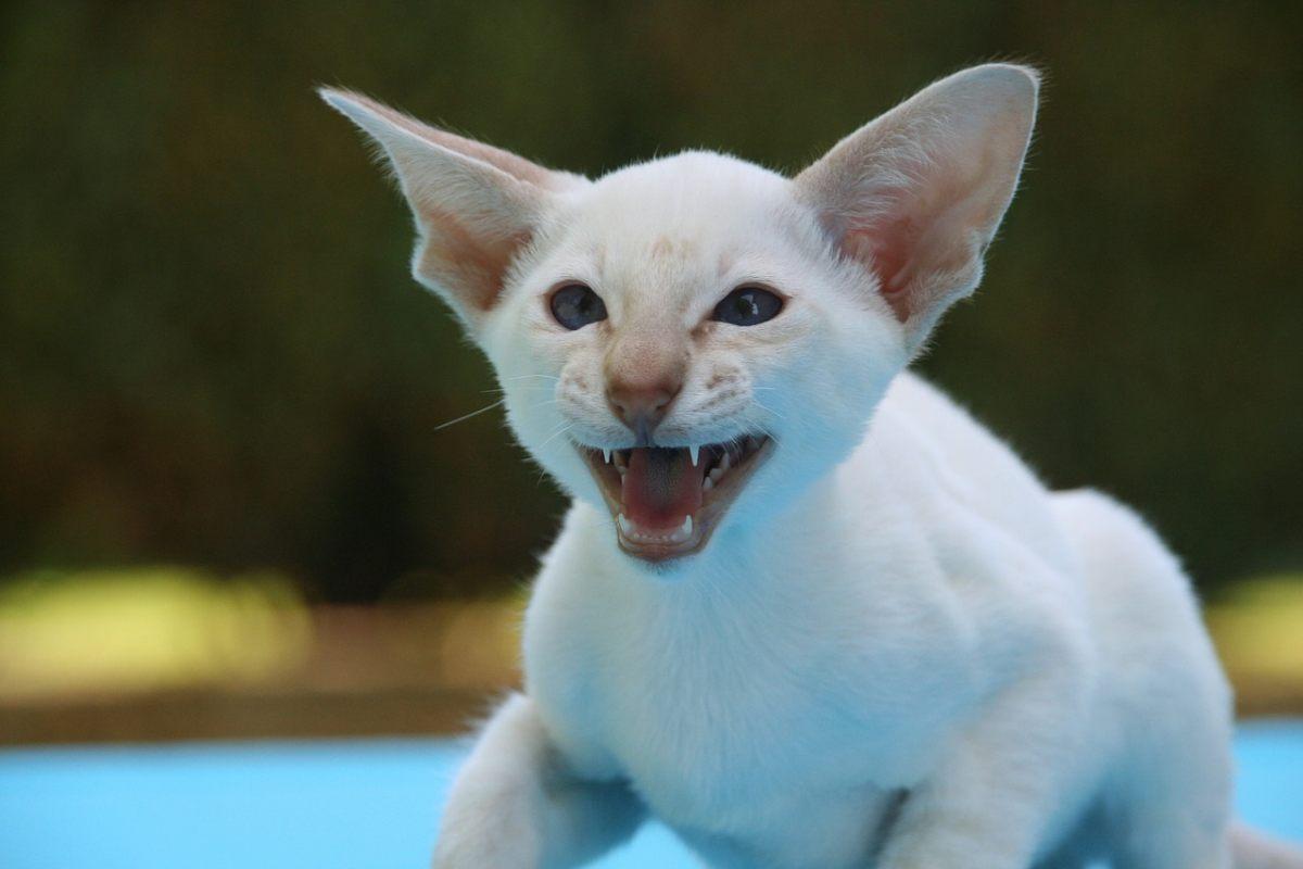 gatto orientale bianco
