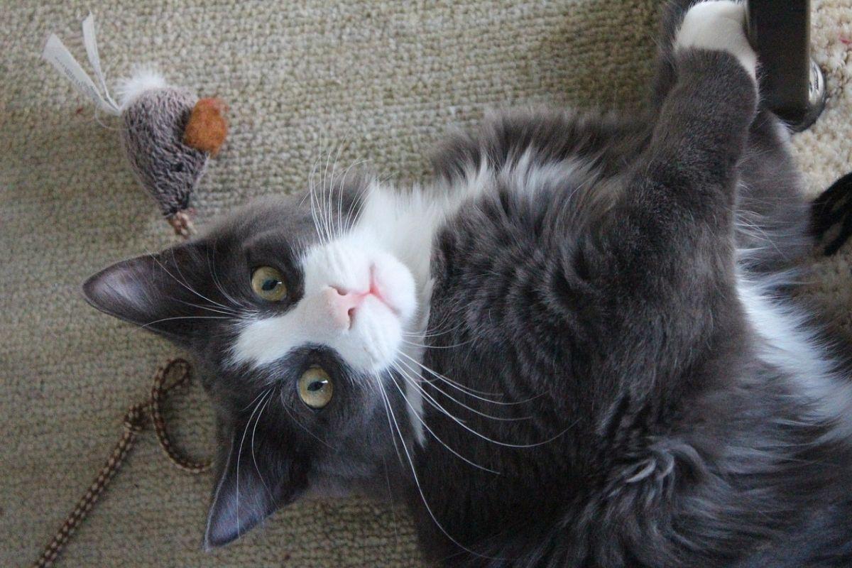 gatto con un giocattolo a forma di topo