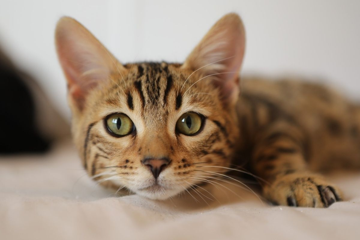 gattino tigrato su un letto