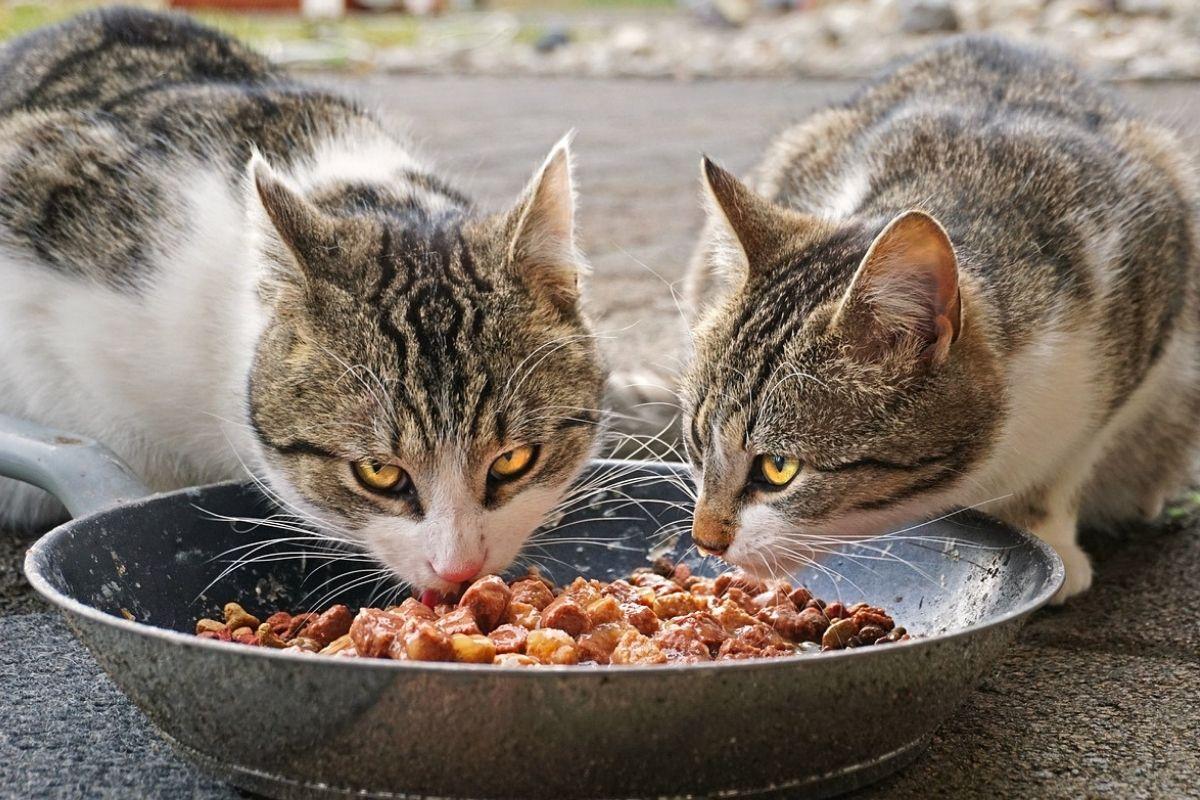 Due gatti mangiano insieme