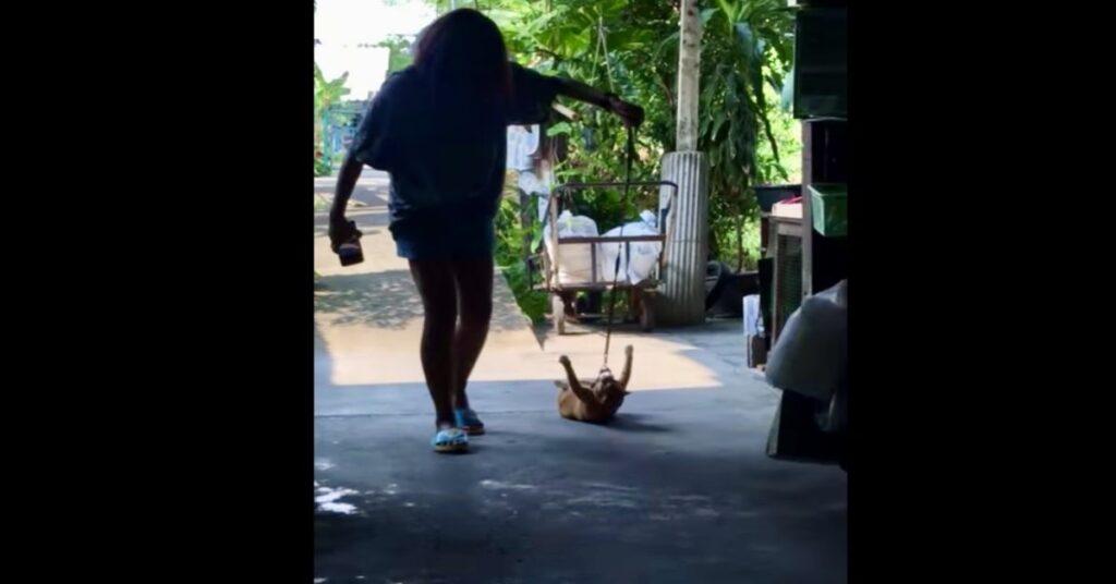 donna trascina gatto con pettorina