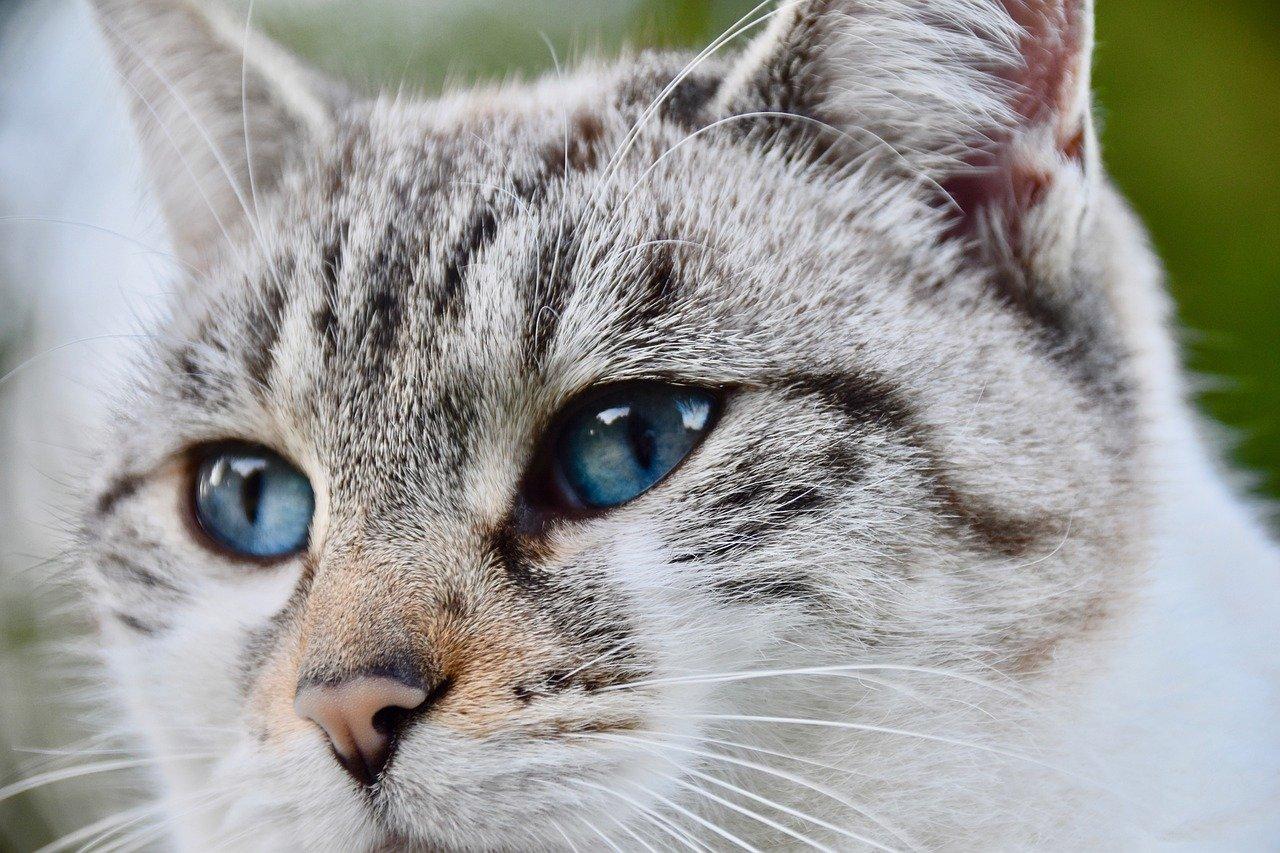 gatto grigio e bianco