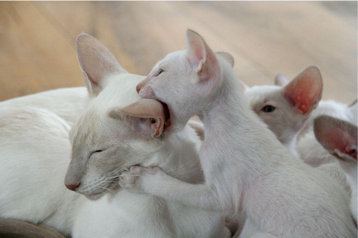 gattino bianco morde la mamma