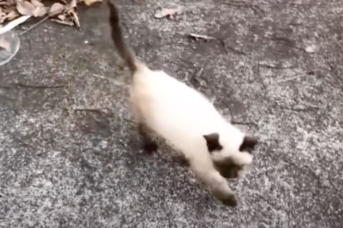 gatto siamese randagio
